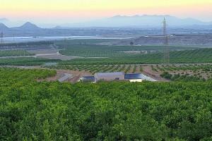 Huertos de naranjos / Orchards of oranges